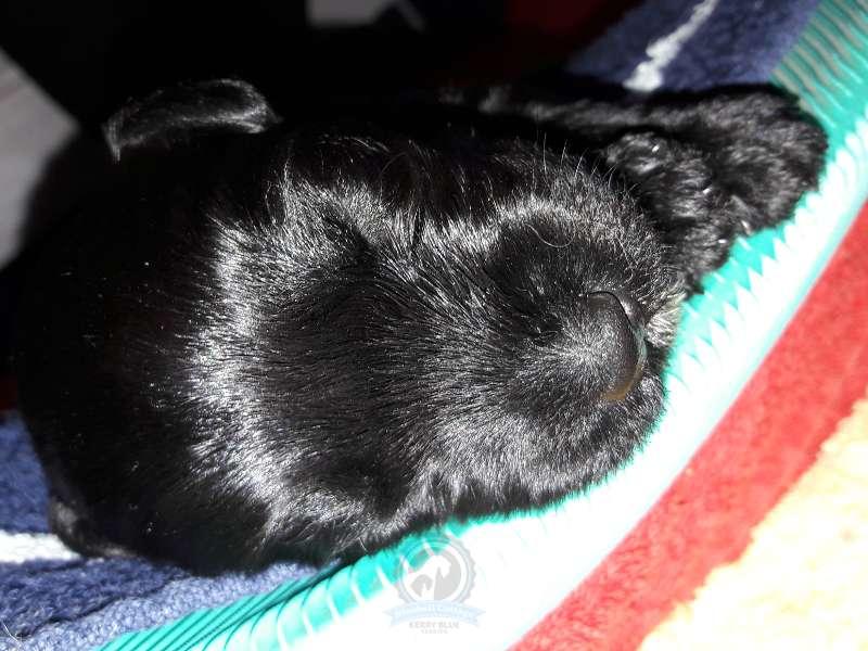 Kerry Bluebell Cottage Welpe schläft