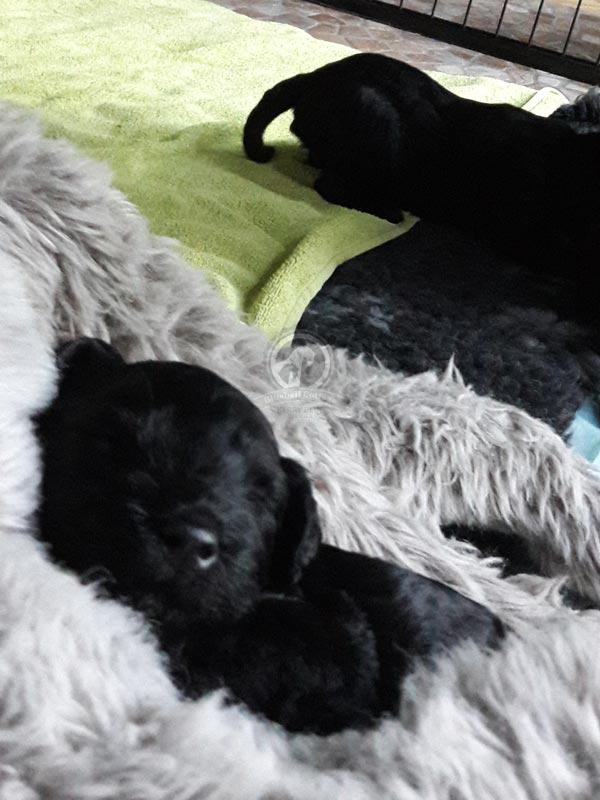 Kerry Blue Terrier Welpe Kuschelschlaf