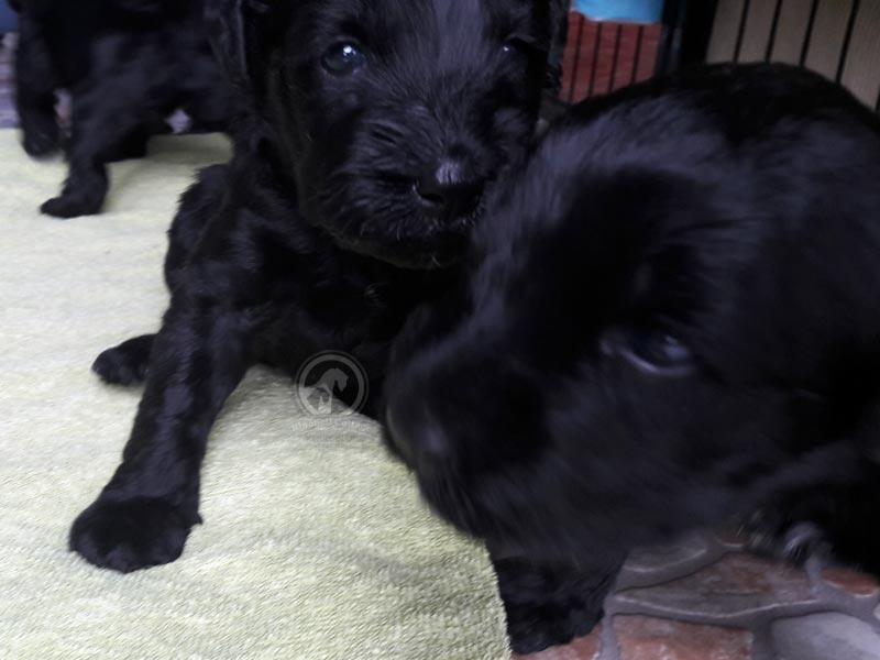 Kerry Blue Terrier Welpe hat seit kurzem die Augen auf