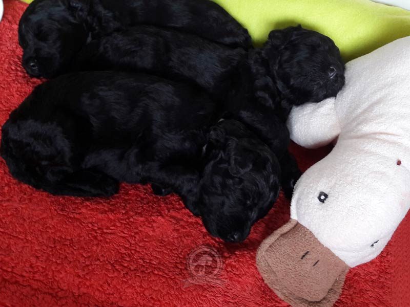 Kerry Blue Terrier Welpen schlafen in Wurfkiste