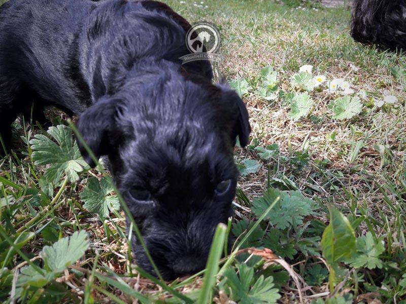 Kerry Welpe schnuppert Gras